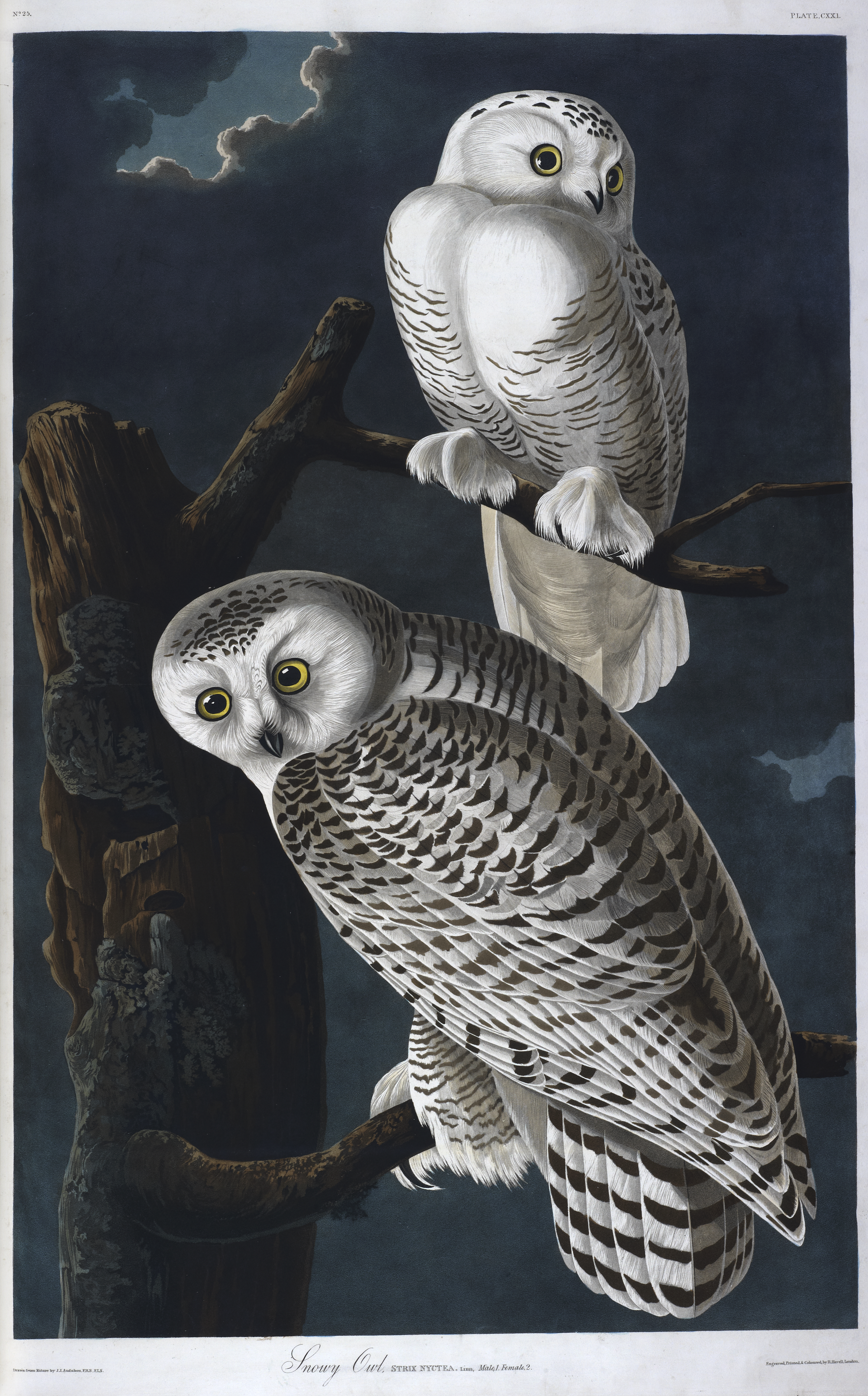 The snowy owl, in John James Audubon's The Birds of America 1827-38 (c) British Library Board