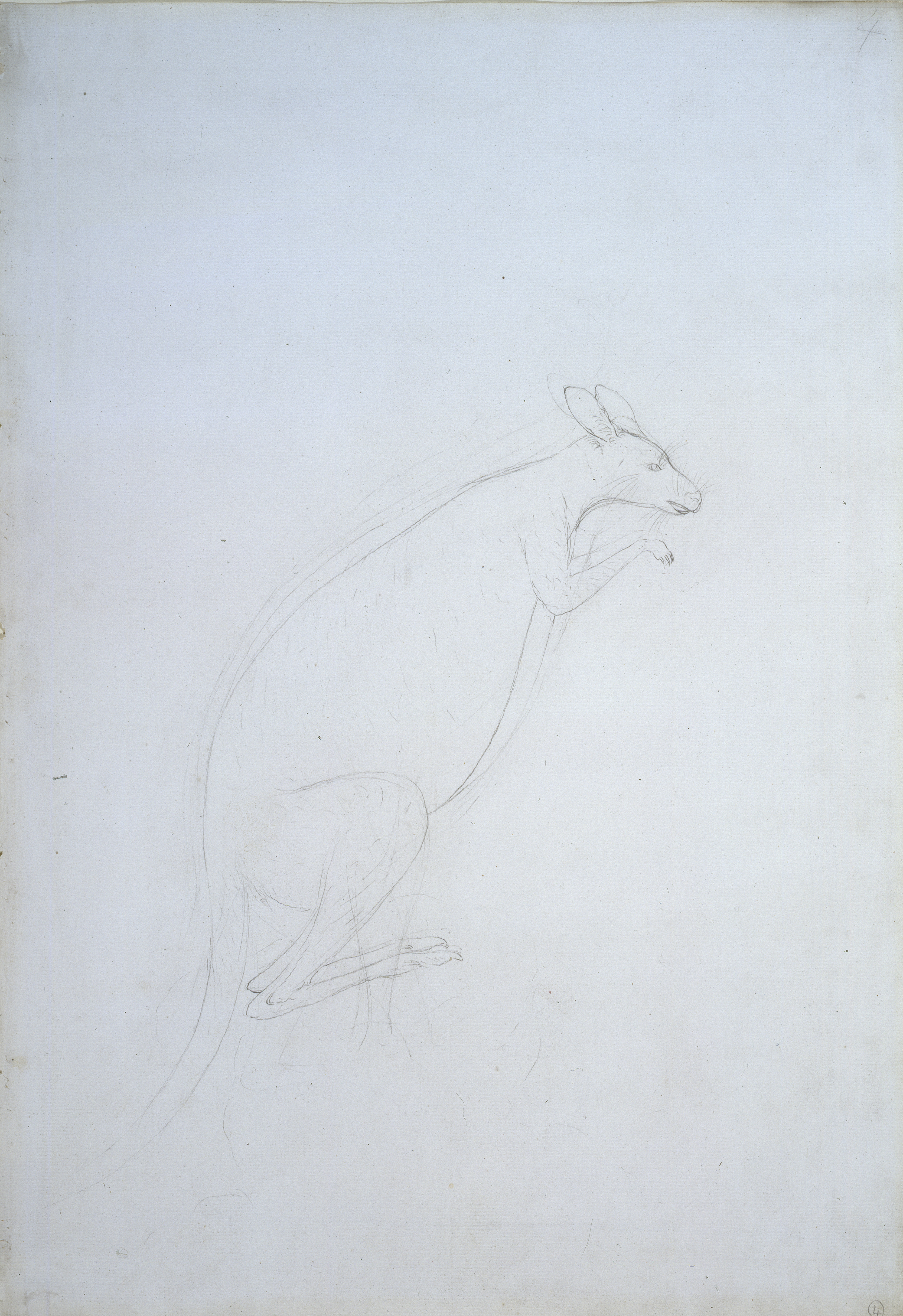 Kangaroo by Sydney Parkinson © Trustees of the Natural History Museum, London