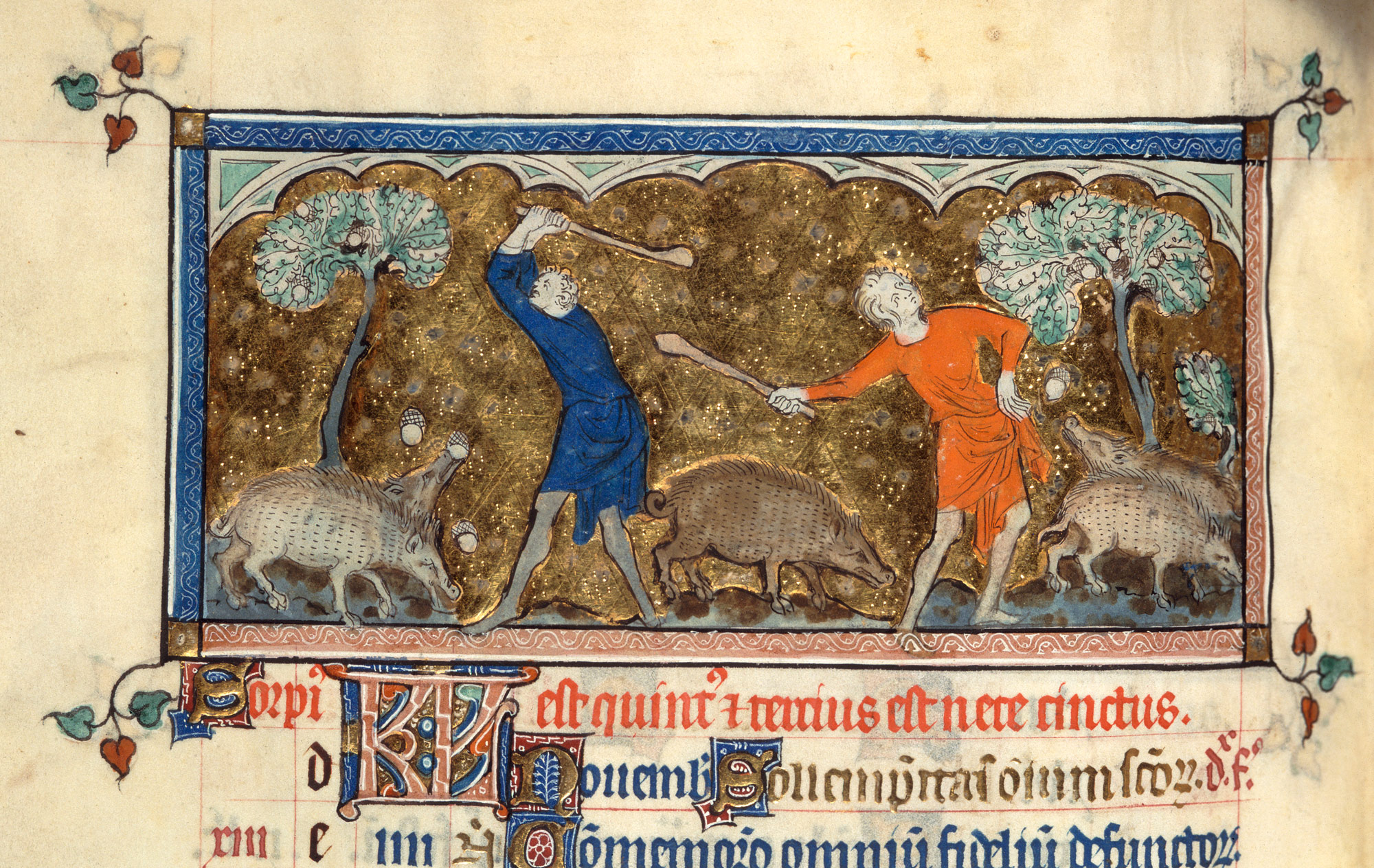 Harvesting acorn to feed swine