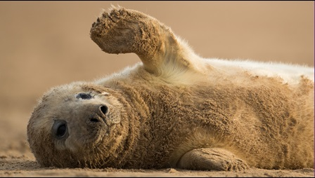 Photograph of baby seal on a sandy beach. It is laying on its side and lifting a flipper, as if it is waving.