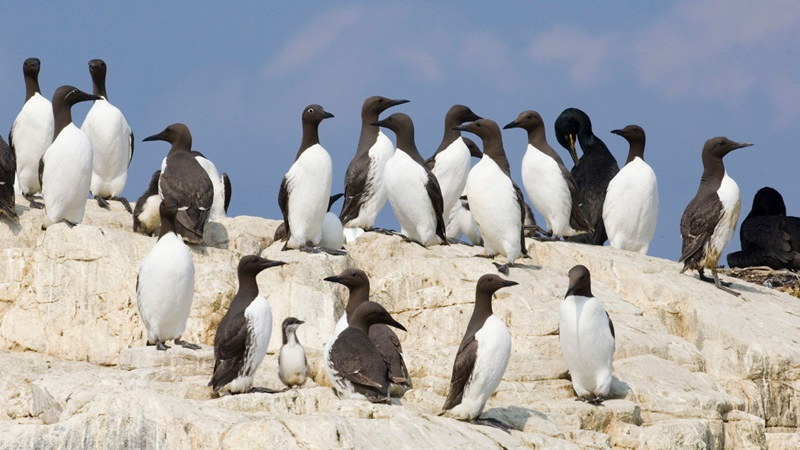 Photograph of a flock of Guillemots on a sea cliff edge