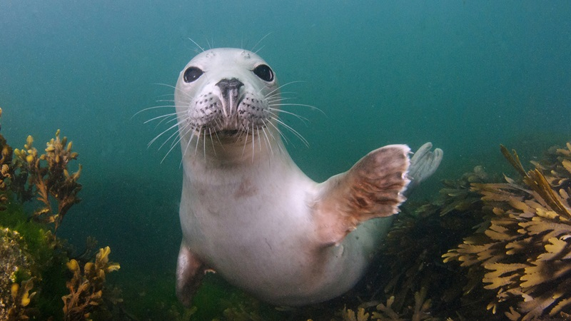 Photograph of a grey seal underwater