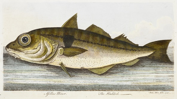 Colour illustration of a haddock (fish)