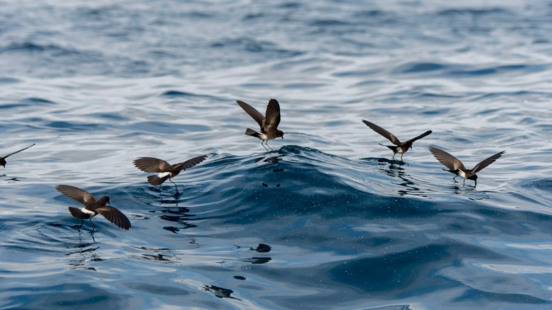 Photograph of storm petrels flying over the waves.