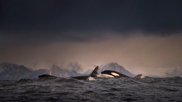 Photograph of whales in Lofoten