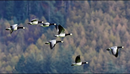 Photograph of a group of Barnacle Geese flying