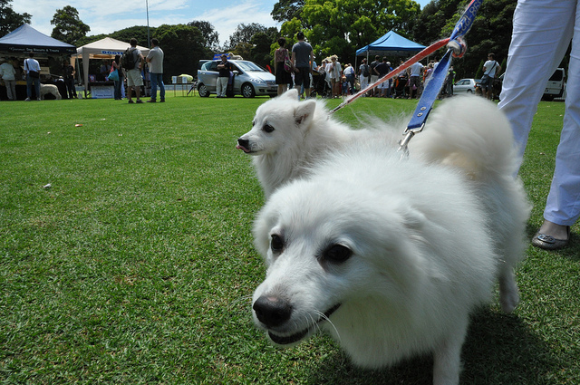 Two white dogs on lead