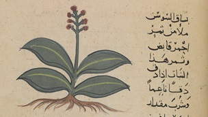 Image of a plant on a page from manuscript number or_3366