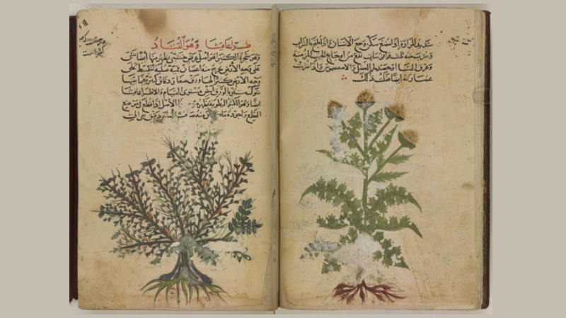 Early 14th century botanical illustration