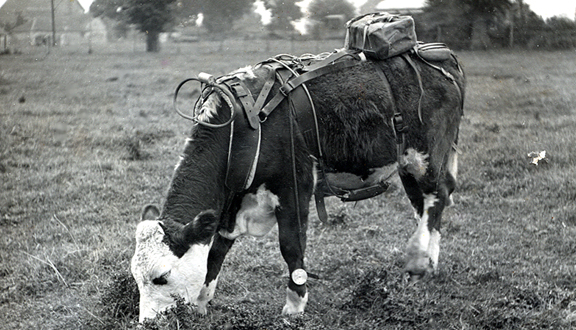 Oxometer designed by James Lovelock attached to a bullock, 1948