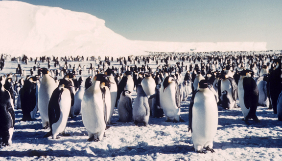 Antarctic penguins, mid 1950s